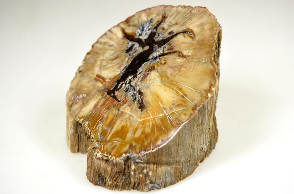 fossil wood bevel cut polished
