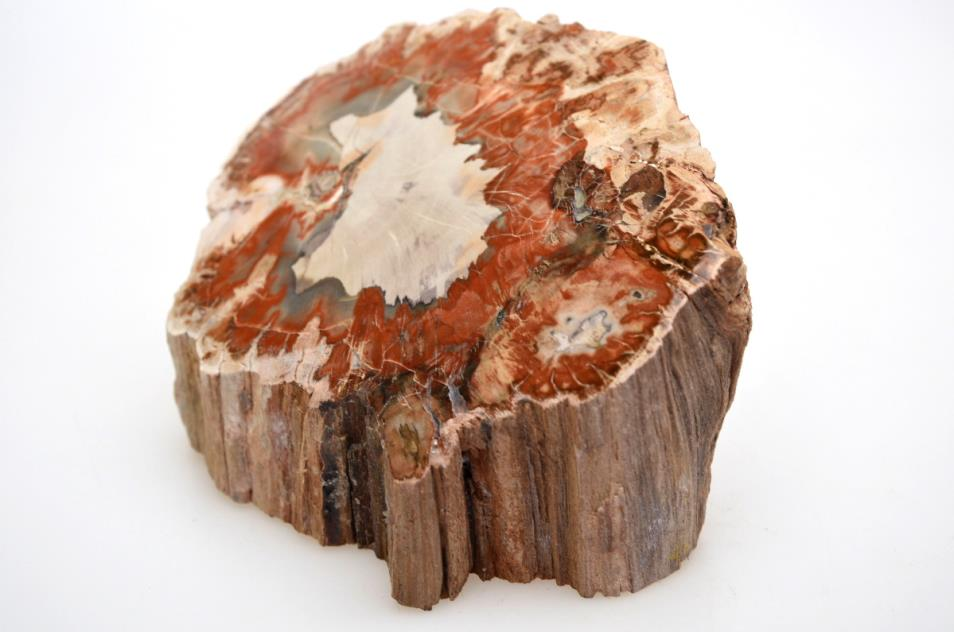 Fossilised Wood Branch bevel cut 13cm | Image 1