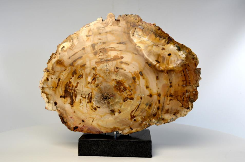 Mounted Fossilised Wood Slice 30.5cm | Image 1
