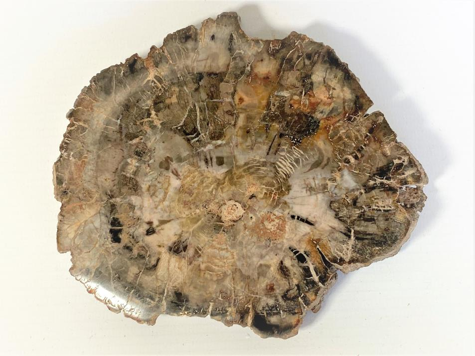 Fossilised Wood Slice 14cm | Image 1