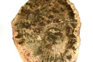 Large Fossilised Wood Log 30cm | Image 5