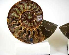 Mounted Ammonite Pair 14.8cm | Image 2