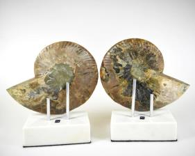 Mounted Ammonite Pair 14.8cm | Image 4