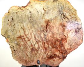 Mounted Fossilised Wood Slice 27cm | Image 2