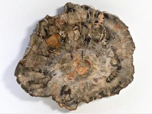 Fossilised Wood Slice 14cm | Image 2